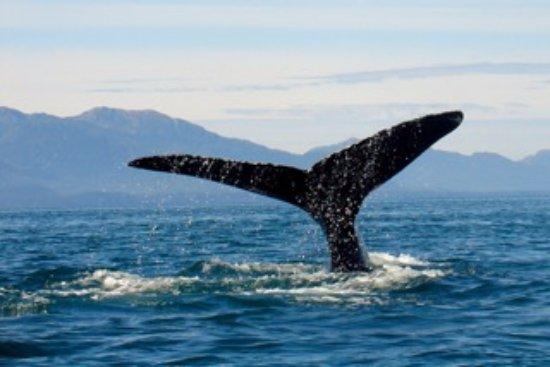 Gustavus, AK: Humpback whalewatching twice a day