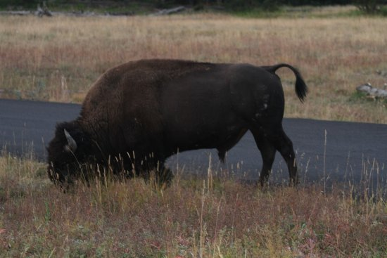 Bridge Bay Campground: The local bison grazing