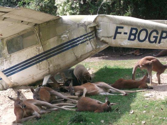 Hermival-les-Vaux, Francia: Des kangourous à l'ombre d'une carcasse d'avion