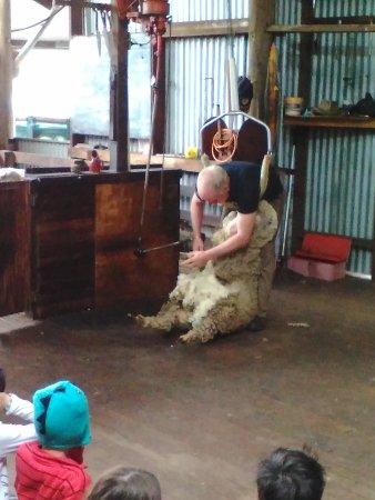 Yallingup, Australia: Sheep shearing