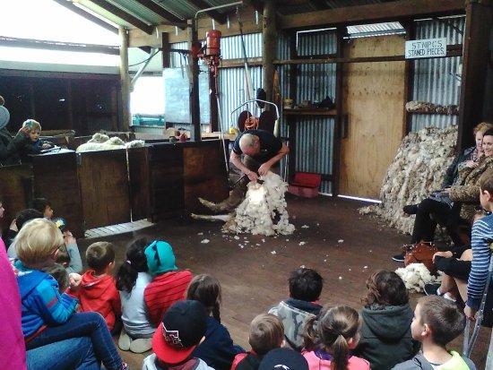 Yallingup, Australia: Off comes the wool