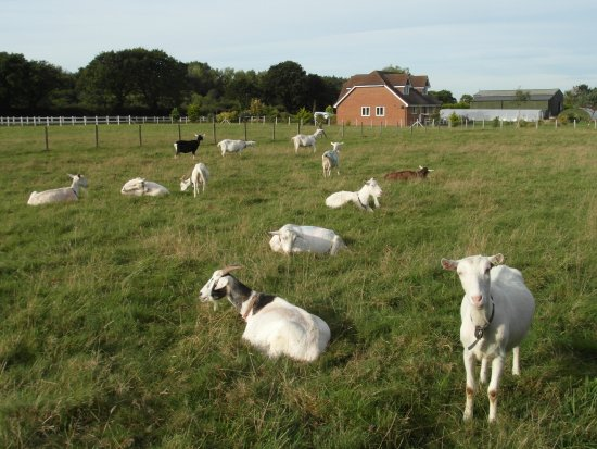 The Green Barn - Isle of Wight Dairy Goats