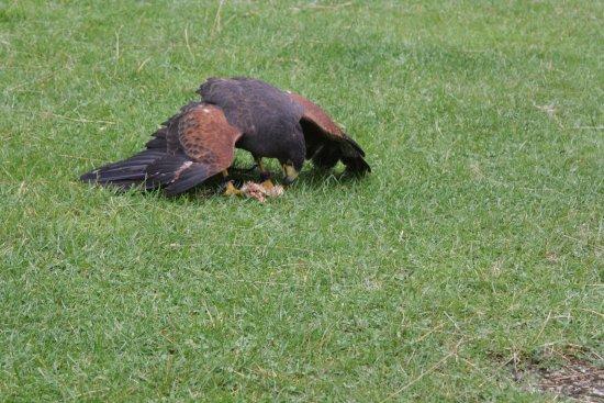 Huntly, UK: Z. Amerikaanse havik welke zijn prooi afschermt