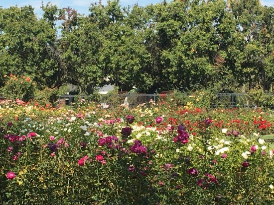 Municipal Rose Garden Of San Jose California Picture Of