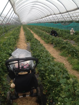 Cupar, UK: Picking strawberries on a rainy day
