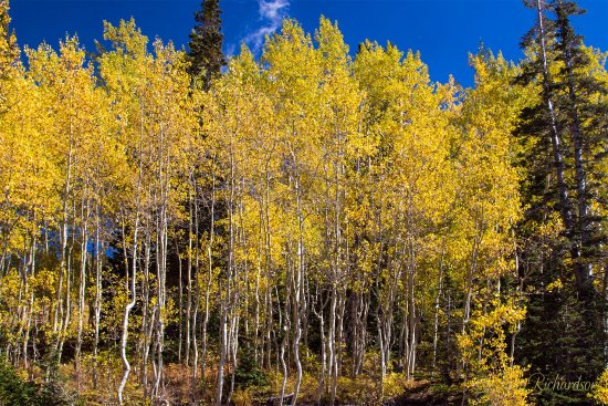 Park City, UT: Shimmering Aspen at Guardsman Pass