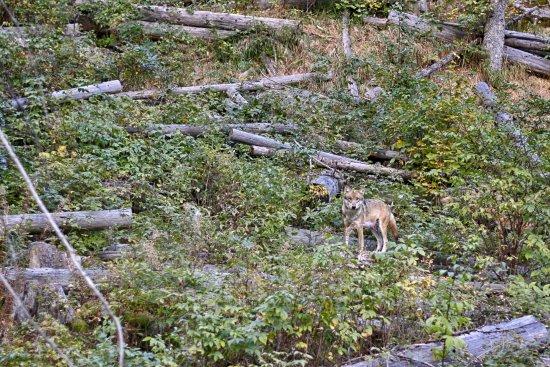 Srni, Чехия: Vlk