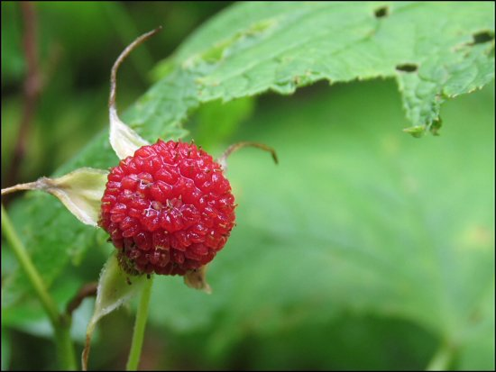 Yoho National Park, Kanada: Wild raspberry