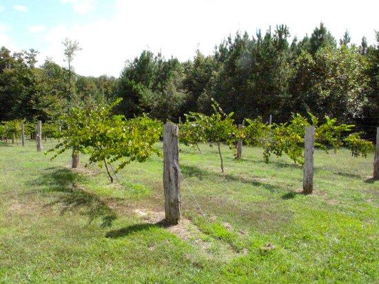 Snow Camp, NC: Vineyard at Wolfe Wines