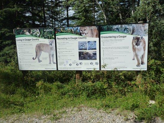 Hinton, Canada: Encountering Cougars!!