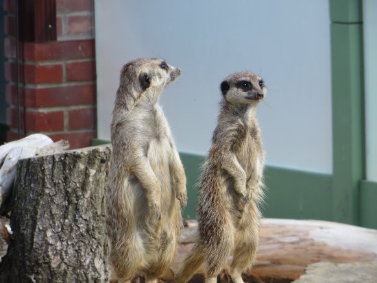 Newport, UK: Meercats at Monkey Haven