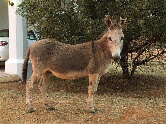 Modimolle (Nylstroom), Sydafrika: Cute donkey!