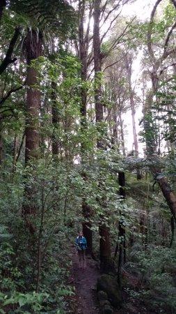 Whangarei, Yeni Zelanda: Many tall magnificent trees