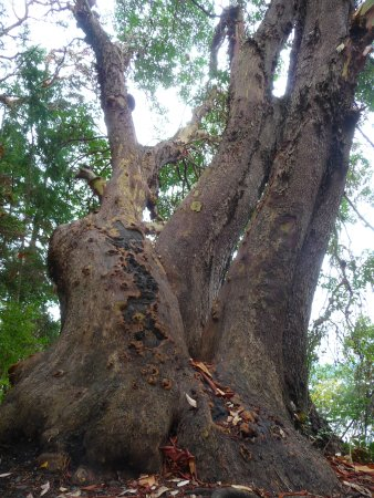 Nanoose Bay, แคนาดา: massive arbutus trees.