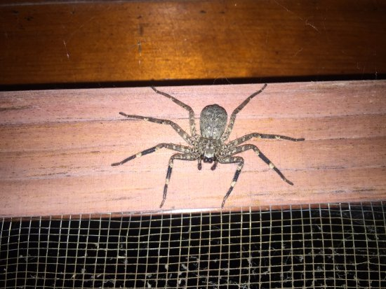 Santa Cruz La Laguna, Guatemala: One of many, many spiders....Several like this daily.