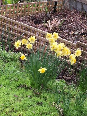 Cygnet, Australia: Daffodils