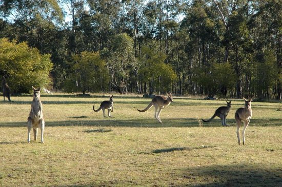 Hunter Hideaway Cottages: Kangaroos