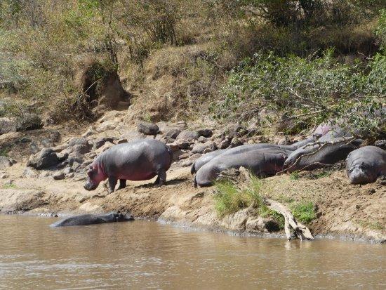 Sanctuary Olonana: Hippos opposite our tent.