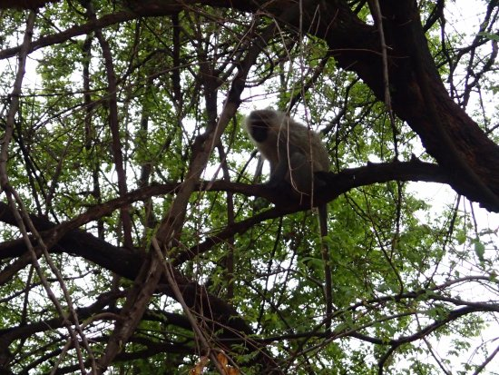 Hekpoort, Güney Afrika: Monkey in a tree at our room