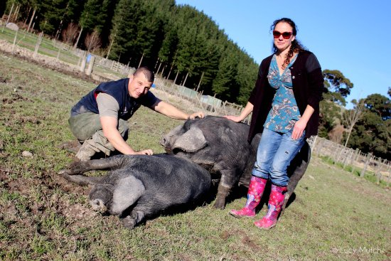 Greytown, Nueva Zelanda: Got to give the breeders some massages! Longbush Pig Breeders - part of the Family! With Jeremy