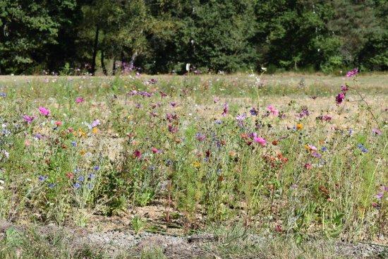 Nedde, Francia: Notre ancien terrain de sports à laissé place à un joli espace fleurs de jachère.