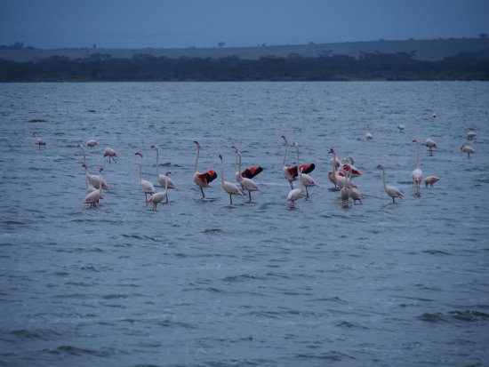 Lake Elementaita, كينيا: フラミンゴが居ました