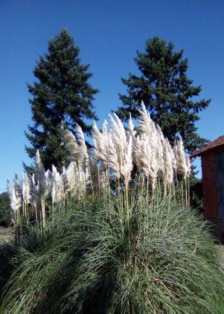 Saint-Avit-Senieur, فرنسا: les herbes de Pampas dans toute leur splendeur