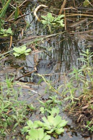 Kenansville, FL: alligatore