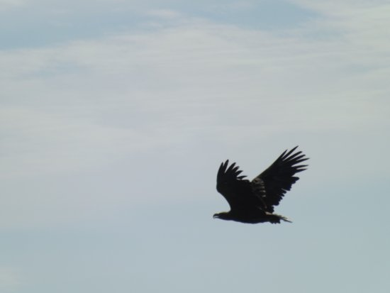 Mull Charters : White-tailed Eagle seen during a Mull Charter's trip