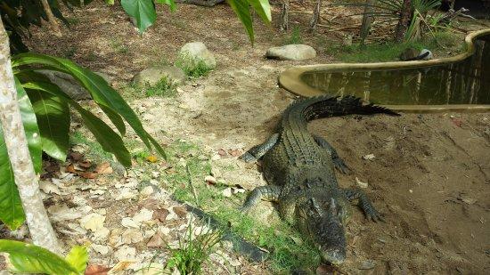 Palm Cove, Australia: Crocodilo atrás da grade