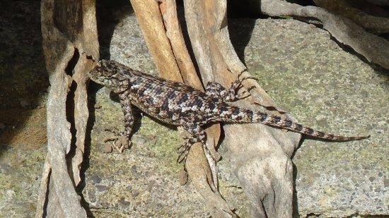 Savegre Hotel, Natural Reserve & Spa: Lizard