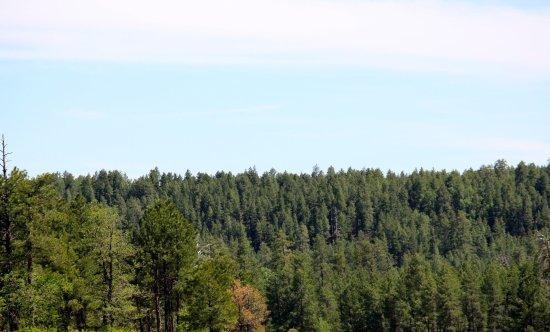 Munds Park, AZ: Tall Pines