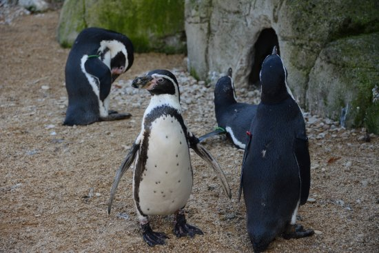Burford, UK: Penguins