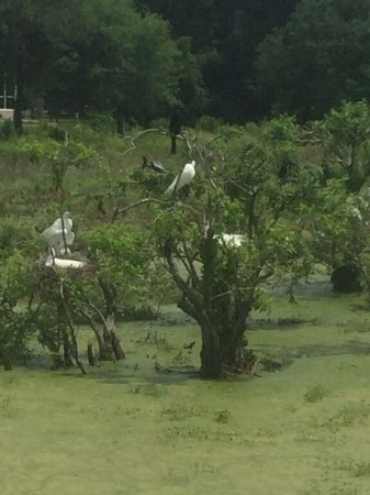 Port Royal, SC: Hoards of snowy egrets seen all about the welands.