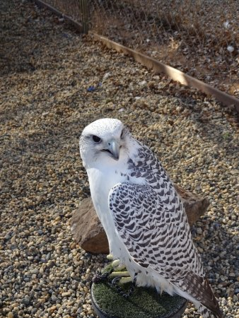 Marysville, Kalifornia: falcon