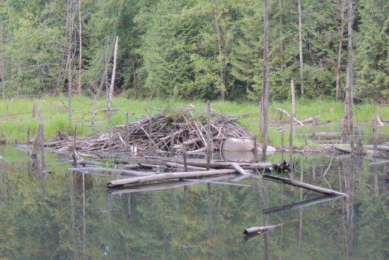 Port Coquitlam, كندا: Beaver Dam off the trail