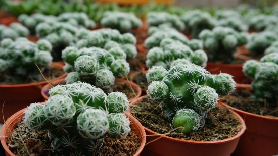 Tanah Rata, Malesia: the cactus 1