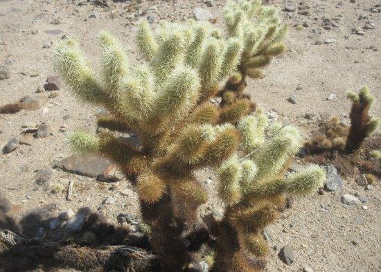 Trail Picture Of Cholla Cactus Garden Joshua Tree National Park Tripadvisor