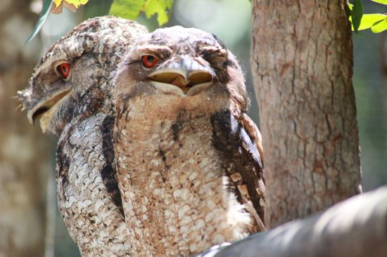 Palm Cove, Australië: Tawny FrogMouths