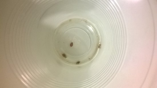 Somerset, Κεντάκι: Bed bugs that were on the walls. We killed them and put them in the cup. This was the second roo