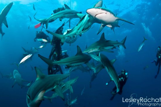 Gauteng, Sydafrika: Scuba diving with Sharks at  Aliwal Shoal