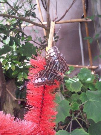 Viagrande, إيطاليا: farfalla che si nutre di zuccheri..