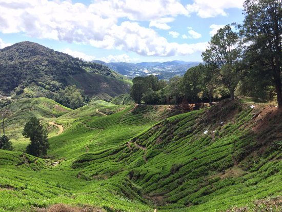 Tanah Rata, Malesia: view of the tea valley