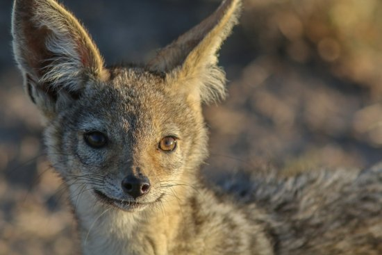 Sweetwaters Serena Camp: Baby Jackal
