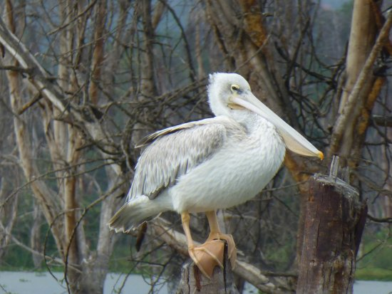 Rift Valley Province, เคนยา: Pelican