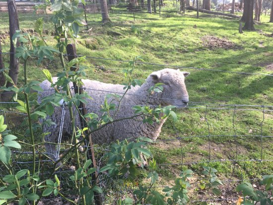 New Norfolk, Australia: Sheep