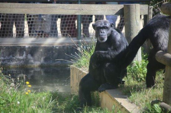 Romaneche-Thorins, Prancis: Chimpanzé