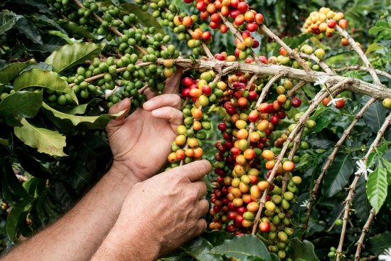 Retiro, Colombia: Coffee cherries ready to be harvested