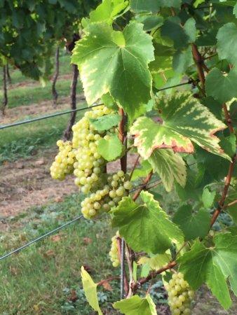 Tenterden, UK: Grapes on the vine
