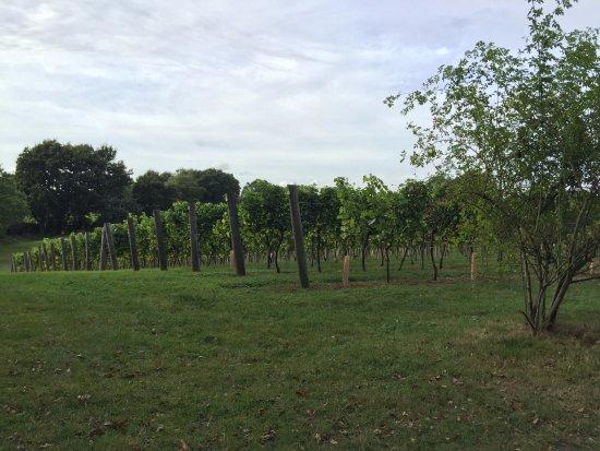 Tenterden, UK: Vineyard